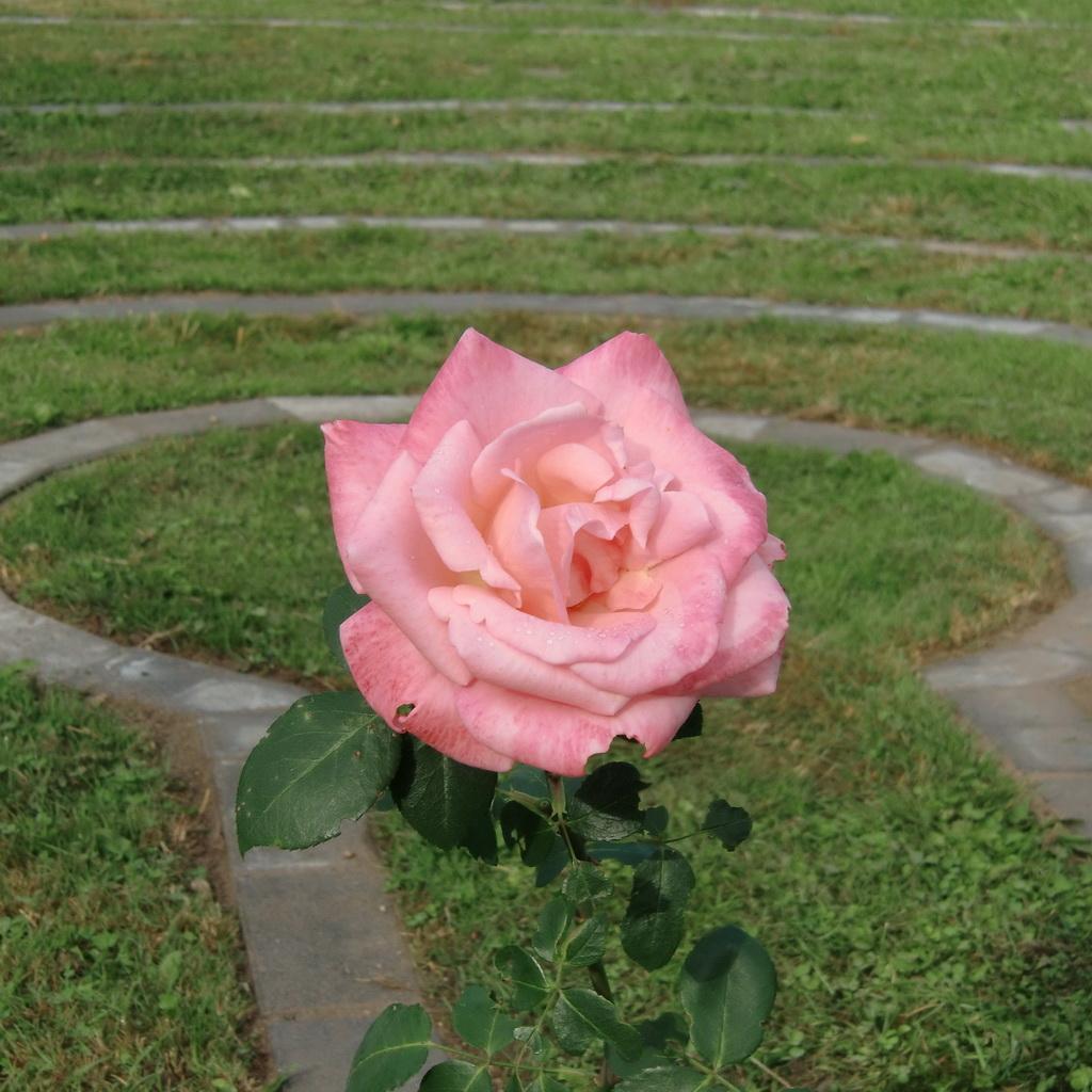 roos van het labyrint