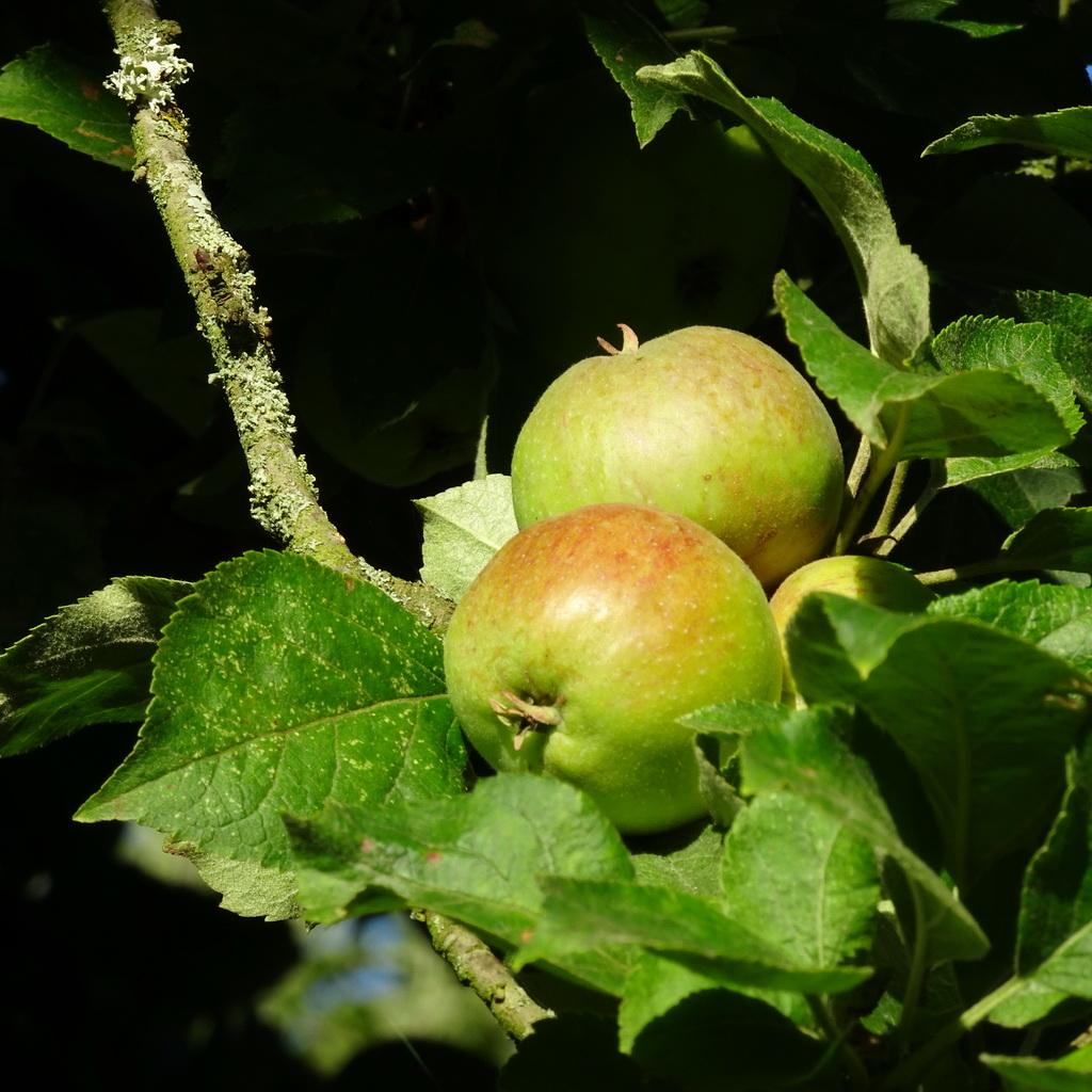 dank je wel, appelboom